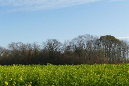Beervelde bloeit