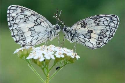 Vlinderkus