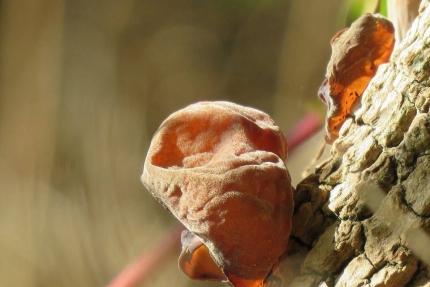 paddenstoel judasoor
