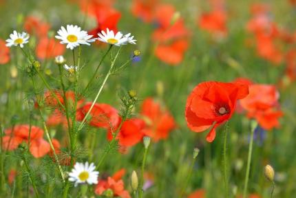 Poppies-time Park Beervelde