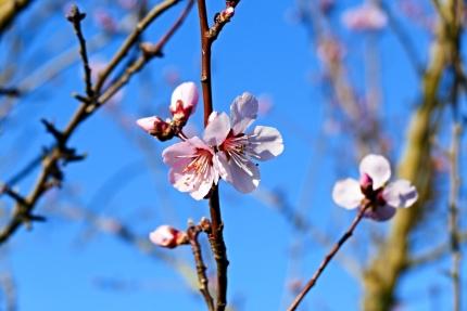 Amandelbloesem blaakt Prunus Dulcis