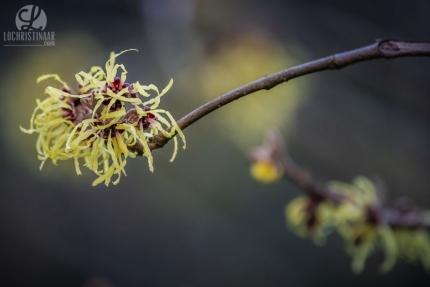 Toverhazelaar of Hamamelis bloeit