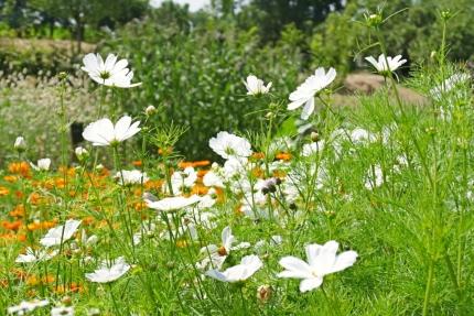 Blommeveld Zaffelare