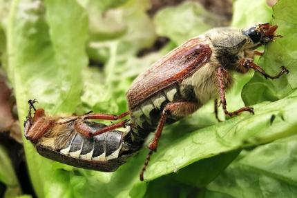 Parende meikevers Lochristinaar © Annick Gentier