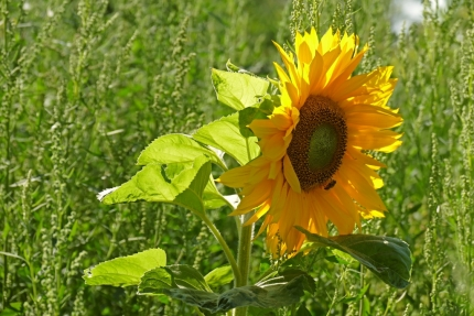 Zonnebloem of tournesol