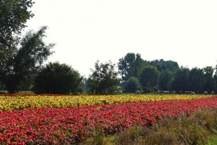Zeldzaam die begoniavelden