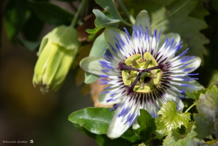 Passiflora in groot ornaat