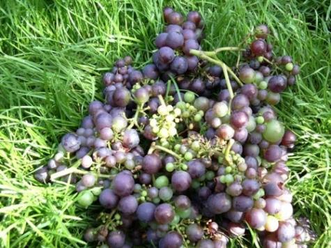 Wijnbouw in Moerbrugge