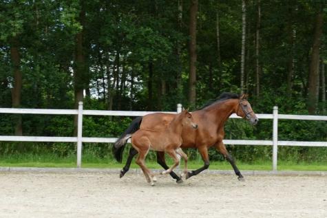 Flanders Horse Event 2016 veulenveiling