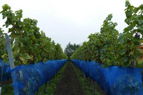 Wijndomein NObel Lochristi druivenpluk wijnoogst
