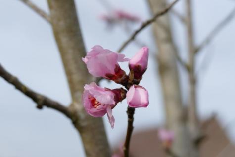 amandelboom bloei