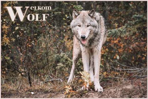 Wolf in Vlaanderen Lochristinaar