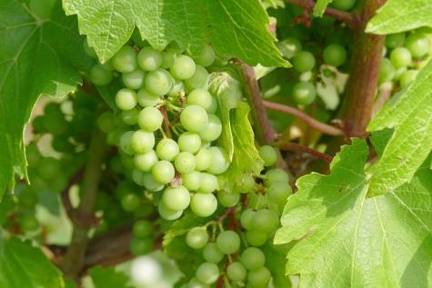 wijngaard Janaplants Zaffelare