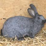 konijnen_belgisch-zilver
